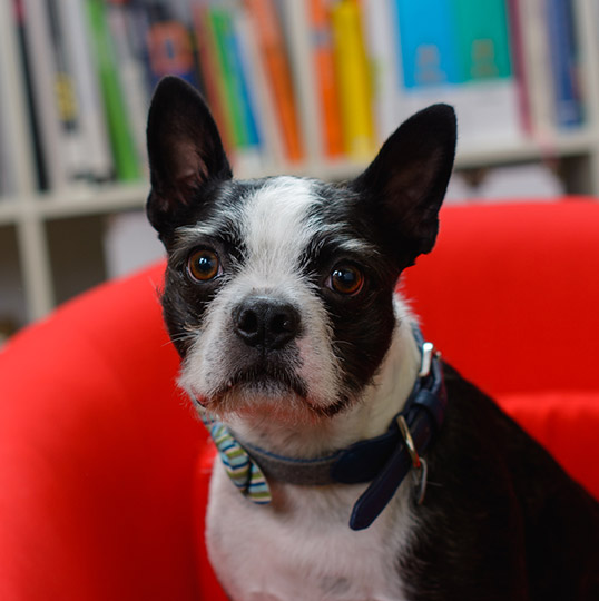 Charlie a Boston Terrier sitting in a red chair in-front of a bookcase wearing a bowtie collar